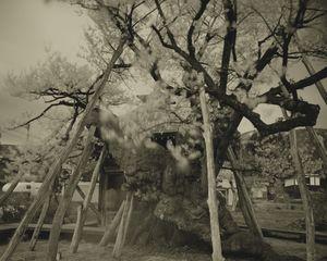 Yakushisakura by Keiichi Ito contemporary artwork works on paper, photography
