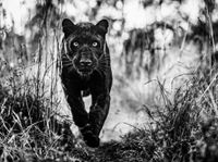 The Black Panther Returns by David Yarrow contemporary artwork photography