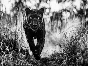 The Black Panther Returns by David Yarrow contemporary artwork