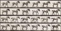 'Hansel' walking, free. by Eadweard Muybridge contemporary artwork photography