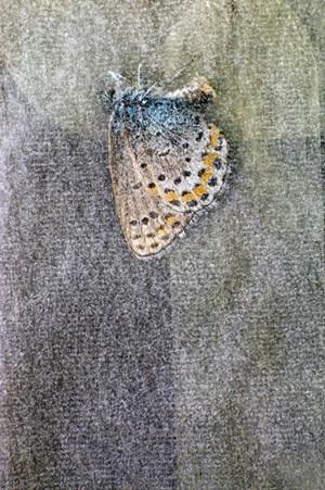 Polyommatus eros Och, glassine I by Fiona Pardington contemporary artwork